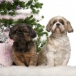 Shih Tzu, 7 years old, Shih Tzu, 10 years old, sitting with Christmas tree and gifts in front of white background — Stok fotoğraf