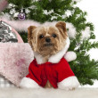 Yorkshire Terrier, 7 years old, with Christmas gifts in front of white background — Stock Photo