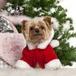 Yorkshire Terrier, 7 years old, with Christmas gifts in front of white background — Stock Photo #10907723