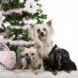 Stock Photo: Chinese Crested Dogs, 6, 4 and 9 years old, lying with Christmas gifts in front of white background