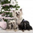 Chinese Crested Dogs, 6, 4 and 9 years old, lying with Christmas gifts in front of white background - Stock Photo