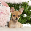Chihuahua puppy, 4 months old, lying with Christmas gifts in front of Christmas tree - Foto Stock