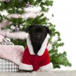 Mixed-breed dog wearing Santa outfit with Christmas gifts in front of white background — Stock Photo