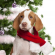Close-up of Braque Saint-Germain puppy, 3 months old, with Christmas gifts in front of white background - Stock Photo