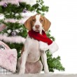 Braque Saint-Germain puppy, 3 months old, sitting with Christmas tree and gifts in front of white background — Stock Photo