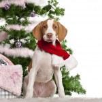cachorro de saint-germain de Braque, 3 meses de edad, sentado con árbol de Navidad y regalos de frente fondo blanco — Foto de Stock