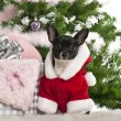 Chihuahua, 7 months old, wearing Santa outfit with Christmas gifts in front of white background — ストック写真
