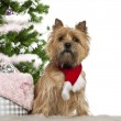 Stock Photo: Cairn Terrier, 2 years old, sitting with Christmas tree and gifts in front of white background