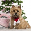 Cairn Terrier, 2 years old, sitting with Christmas tree and gifts in front of white background - Stock Photo
