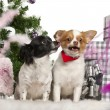 Chihuahuas, 6 years old, Chihuahua, 18 months old, sitting with Christmas tree and gifts in front of white background — Stock fotografie