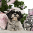 Shih Tzu, 18 months old, lying with Christmas gifts in front of white background — Stock Photo