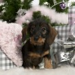Dachshund puppy, 3 months old, sitting with Christmas tree and gifts in front of white background — Stock fotografie