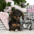 Dachshund puppy, 3 months old, sitting with Christmas tree and gifts in front of white background — Foto Stock