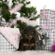 Dachshund puppy, 3 months old, sitting with Christmas tree and gifts in front of white background — Stockfoto
