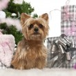 Yorkshire Terrier, 1 year old, sitting with Christmas tree and gifts in front of white background — Stockfoto