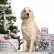 Foto Stock: Golden Retriever, 5 years old, sitting with Christmas tree and gifts in front of white background