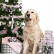 Golden Retriever, 5 years old, sitting with Christmas tree and gifts in front of white background — Stok fotoğraf
