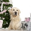 Golden Retriever, 8 years old, lying with Christmas gifts in front of white background — Foto de stock #10907755