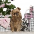Griffon Bruxellois, 23 months old, with Christmas gifts in front of white background — Stock Photo