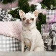 Chihuahua sitting with Christmas tree and gifts — Stock Photo
