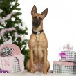 Stock Photo: Belgian Shepherd Dog, Malinois, 1 year old, with Christmas tree and gifts in front of white background