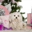 Maltese, 1 year old, with Christmas tree and gifts in front of white background — Foto Stock