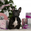 French Bulldog, 1 year old, with Christmas tree and gifts in front of white background — Stock Photo