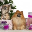 Pomeranian, 2 years old, and Chihuahua, 4 years old, with Christmas tree and gifts in front of white background — Stok fotoğraf