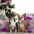Chihuahuas, 2 years old, with Christmas tree and gifts in front of white background — Stock Photo