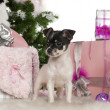 Royalty-Free Stock Photo: Chihuahua puppy, 3 months old, with Christmas tree and gifts in front of white background