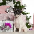Chihuahua puppy, 3 months old, with Christmas tree and gifts in front of white background — Stock Photo