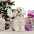 Maltese, 2 years old, with Christmas tree and gifts in front of white background — Zdjęcie stockowe
