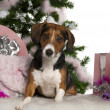 Beagle, 2 years old, with Christmas tree and gifts in front of white background - Stock Photo