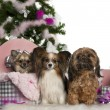 Chihuahua, 18 months old, getting out a box, with Papillon, 5 years old, and Shih Tzu with Christmas tree and gifts in front of white background — Stock Photo #10907849