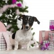 Jack Russell Terrier, 9 months old, with Christmas tree and gifts in front of white background — Стоковая фотография
