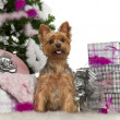 Yorkshire Terrier, 2 years old, with Christmas tree and gifts in front of white background - Stock Photo
