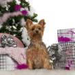 Yorkshire Terrier, 2 years old, with Christmas tree and gifts in front of white background — Stock Photo
