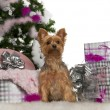 Royalty-Free Stock Photo: Yorkshire Terrier, 2 years old, with Christmas tree and gifts in front of white background