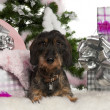 Dachshund, 12 months old, with Christmas tree and gifts in front of white background — Foto Stock