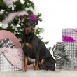 German Pinscher, 2 years old, with Christmas tree and gifts in front of white background — Stock Photo