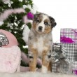 Australian Shepherd puppy, 2 months old, with Christmas tree and gifts in front of white background - Stockfoto