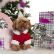 Poodle, 4 years old, with Christmas tree and gifts in front of white background — Stock Photo