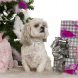Shih Tzu, 4 years old, with Christmas tree and gifts in front of white background — Stock Photo