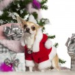 Chihuahua, 16 months old, with Christmas tree and gifts in front of white background — Stock Photo