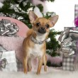 Chihuahua, 15 months old, with Christmas tree and gifts in front of white background — Stock Photo