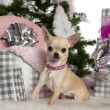 Royalty-Free Stock Photo: Chihuahua, 8 months old, with Christmas tree and gifts in front of white background