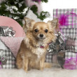Chihuahua, 3 years old, with Christmas tree and gifts in front of white background — Stock Photo