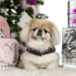 Pekingese, 6 years old, with Christmas tree and gifts in front of white background — Stockfoto