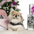 Pekingese, 6 years old, with Christmas tree and gifts in front of white background — Stock Photo