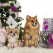 Stock Photo: Chihuahua, 3 years old, with Pomeranian, 2 years old, with Christmas tree and gifts in front of white background
